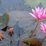 Lotusse in der alten Tempelanlage Angkor Wat
